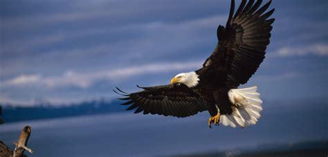bald eagles live in the fast hakai magazine