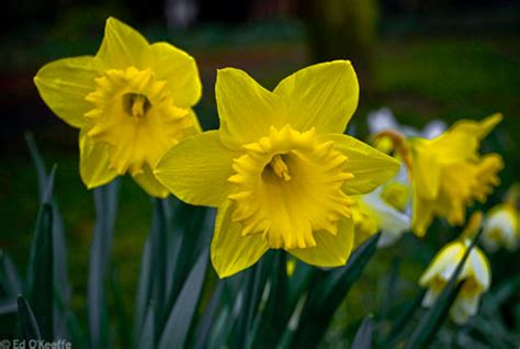 daffodil plant information narcissus flower facts