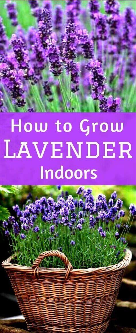 beautiful indoor lavender plant photos decoration design