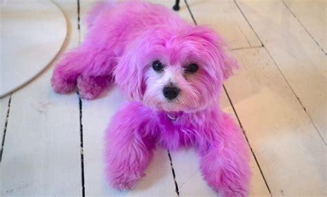 pink dogs pink darcy pinkdarcydog