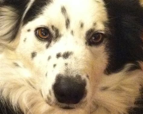 aussie rescue puppies australian shepherd rescue carolina myideasbedroom