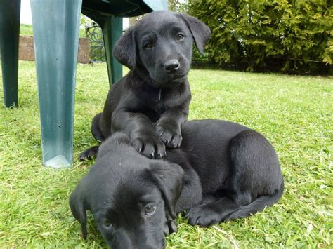 labrador retriever puppies for sale indiana black pedigree labrador retriever puppies for sale northton northtonshire