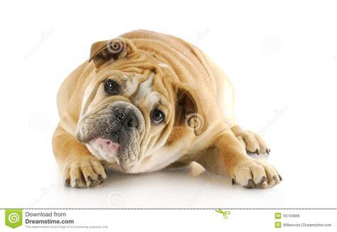 puppy laying bulldog puppy laying royalty free stock image image 16743966