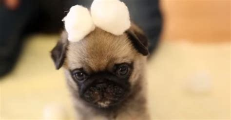how much is a pug puppy worth pug puppy explores new cotton land and now i m melting