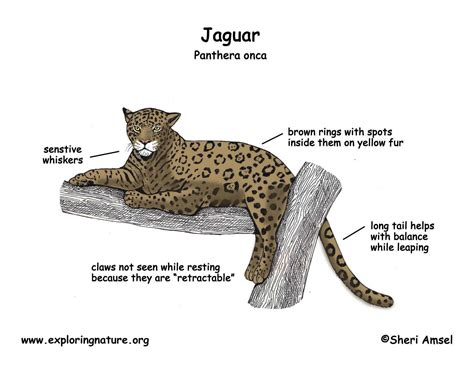 jaguar cycle diagram jaguar cycle myideasbedroom