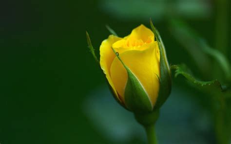 computer wallpaper yellow flower yellow flowers wallpapers hd pictures one hd wallpaper