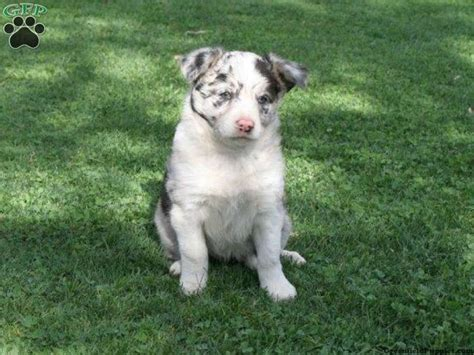 border collie mix puppies for sale in pa 17 best images about on faux taxidermy puppys and border collie