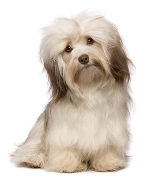 is havanese hypoallergenic 6 hypoallergenic apartment dogs that make the best pets