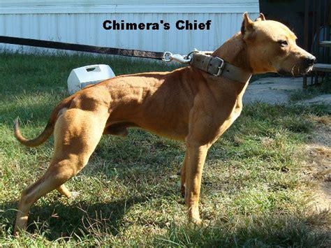 chagne color pitbull ripoff report blue pitbulls pitbull puppies for sale