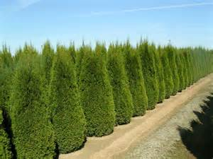 arborvitae trees arbor tool galleries