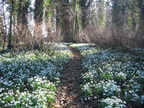 norfolk ngs snowdrop gardens 2014 iceni post news from the north folk south folk