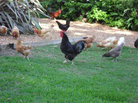 My Backyard Chickens My Flock Backyard Chickens