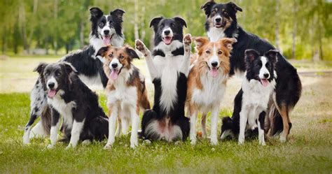 collie breed border collie breed 187 information pictures more