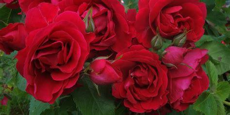 Die Schönsten Kletterrosen by Rosenparadies Kletterrose Flammentanz Rosenparadies Loccum