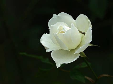 imagenes de luto rosa blanca el amor no es el odio nube de alivio