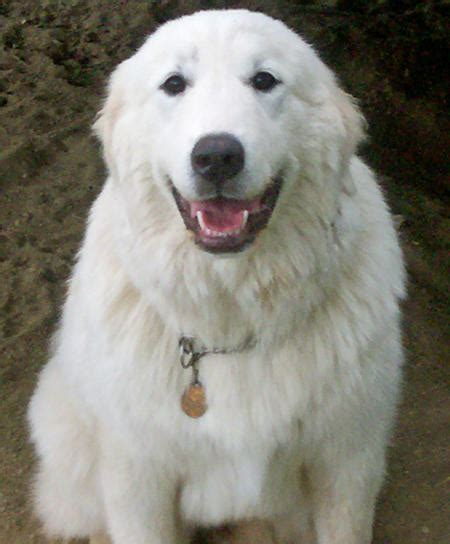 great pyrenees breeds the great pyrenees stunning majestic