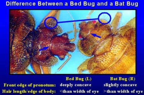 can chiggers live in your bed plecia nearctica bed bugs registry