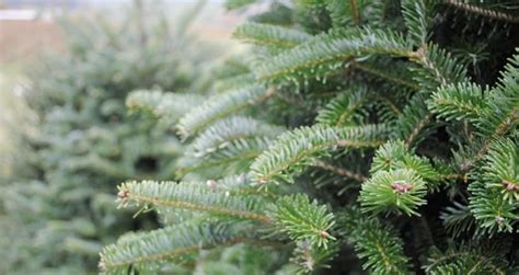 fresh christmas trees near me real trees for sale near me event next