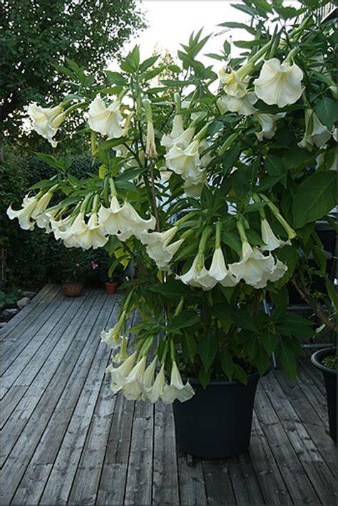 tropical fragrant plants trumpet white tropical fragrant