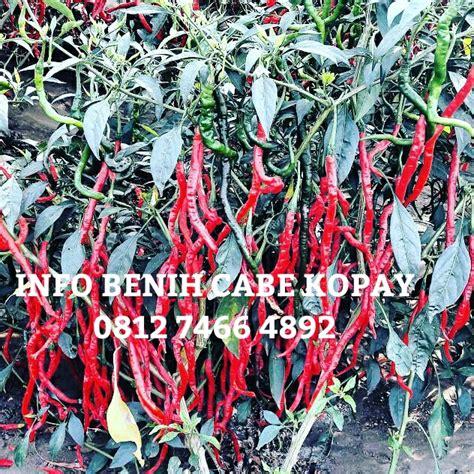 Benih Cabe Kriting bibit cabe kopay benih cabe kopay
