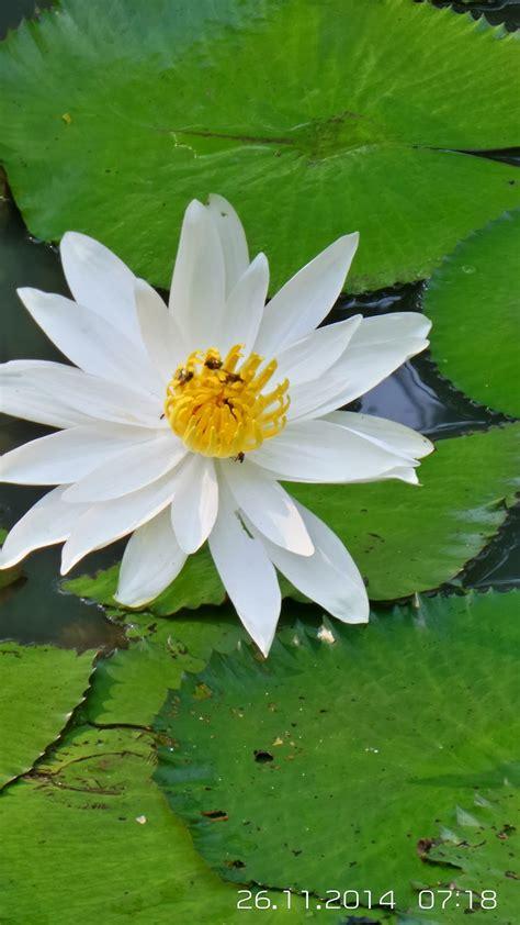 Tanaman Jadi Bunga Teratai Putih ocehan ade teratai putih
