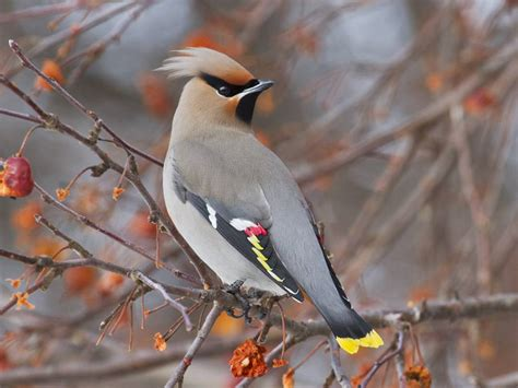 how the bohemian waxwing gets drunk off fruit mnn