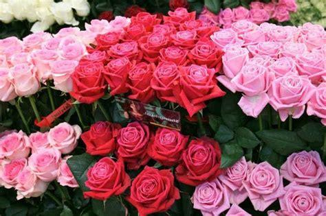 Pupuk Untuk Bunga Mawar cara menanam bunga mawar tanaman hias bunga buah dan sayur