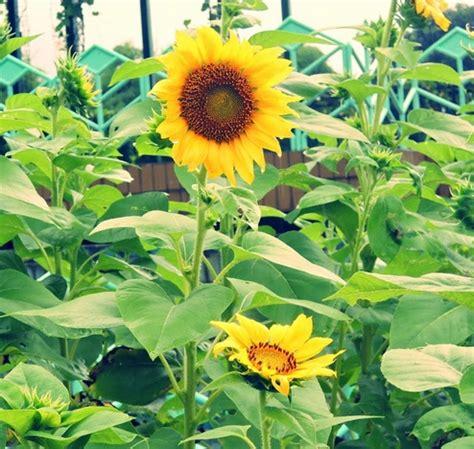 benih bunga matahari lokal