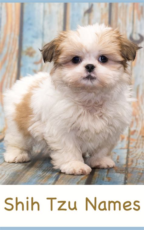 puppy shih tzu names shih tzu names adorable to awesome ideas for naming your puppy