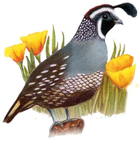 california state bird and flower valley quail lophortyx