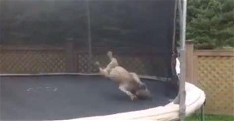 cama elastica en ingles un bulldog jugando en una cama el 225 stica schnauzi