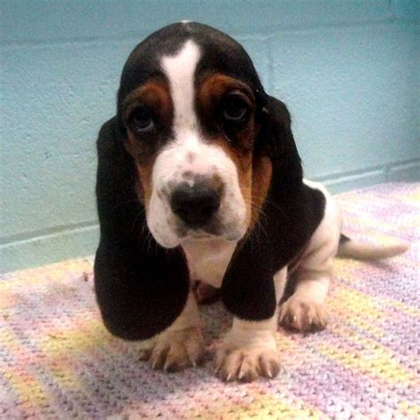 basset hound puppy rescue the 25 best miniature basset hound ideas on basset hound bassett