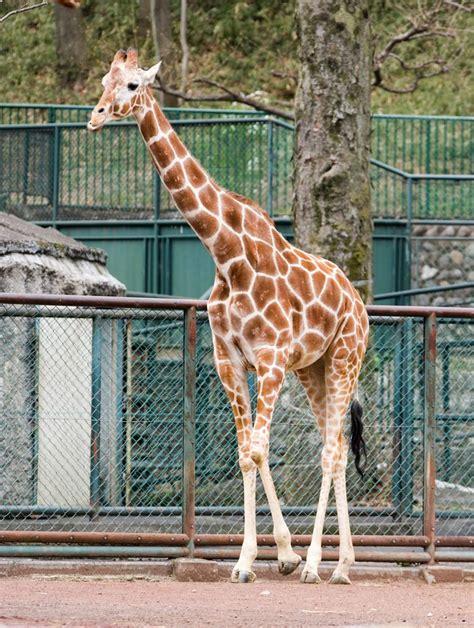 imagenes jirafas primer grado punta chica fotos de jirafas