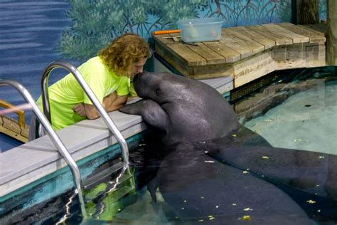 airboat death in florida snooty the world s oldest living manatee in captivity