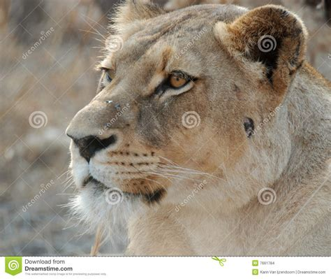 when a lioness growls a s pride books portrait of a lioness up kenya tanzania maasai