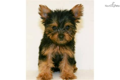 grown up yorkie terrier yorkie puppy for sale near columbus ohio a4c369e9 39f1