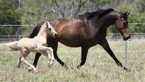 Tas Palomino Second majestic horses our mares