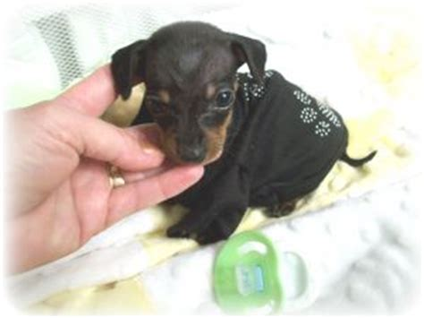 teacup wiener pin teacup dachshund puppies for sale in florida on