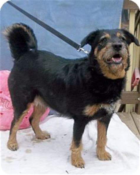 terrier rottweiler mix staffordshire bull terrier in chicago breeds picture
