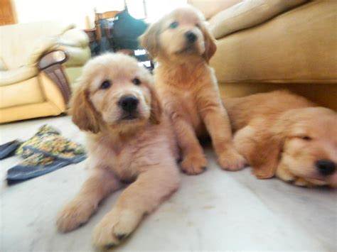 golden retriever puppies for sale in chennai golden retriever puppies cost in chennai dogs our friends photo