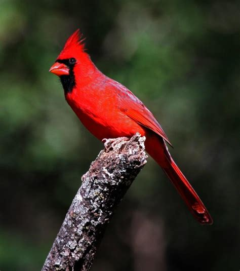 state bird of north carolina north carolina symbols part i
