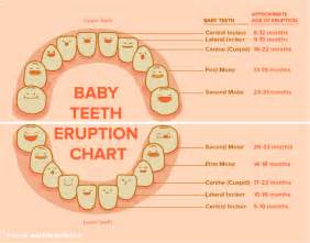 ages when baby teeth come in and fall out baby dentist kirkland baby teeth dr pauley