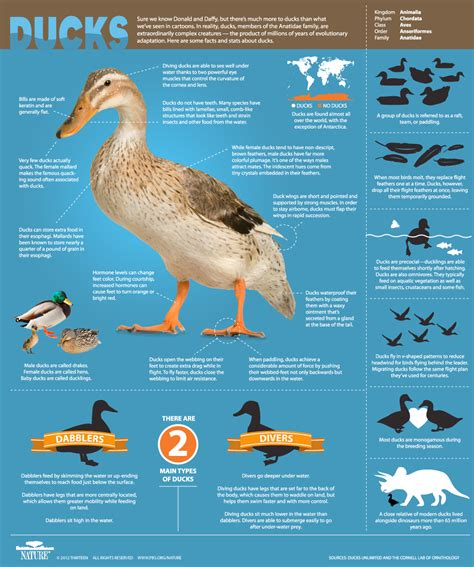 an original duckumentary infographic all about ducks nature pbs