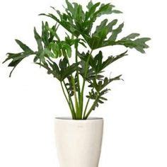 Tanaman Philodendron Xanadu 1000 images about tanaman indoor on indoor peace and ferns