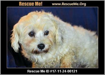 havanese rescue colorado colorado havanese rescue adoptions rescueme org