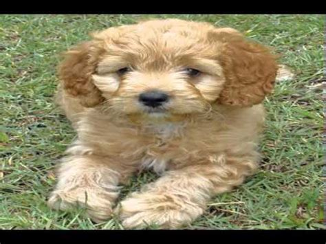 golden retriever havanese mix havanese poodle mix for sale