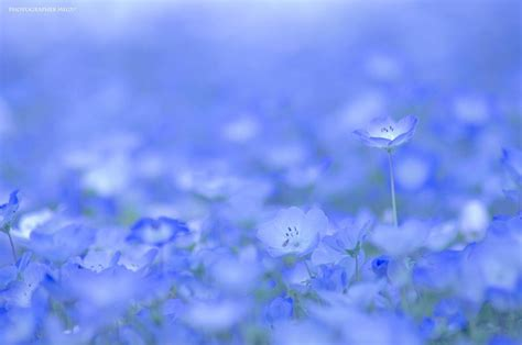 Baby Japan Blue go see 4 5 million baby blue eye flowers at hitachi