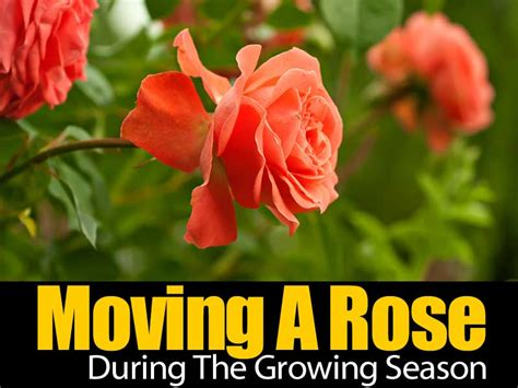 how to move a rose during the growing season