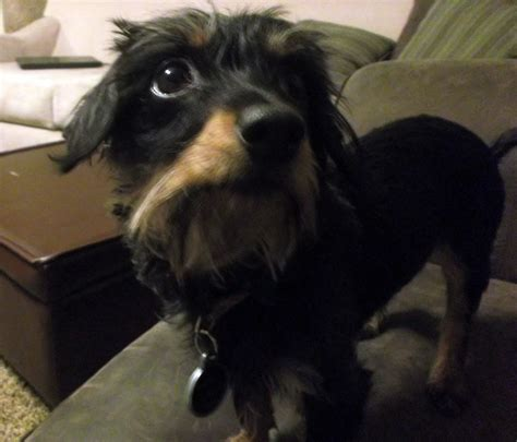 yorkie mixed with dachshund dachshund terrier mix allmutt