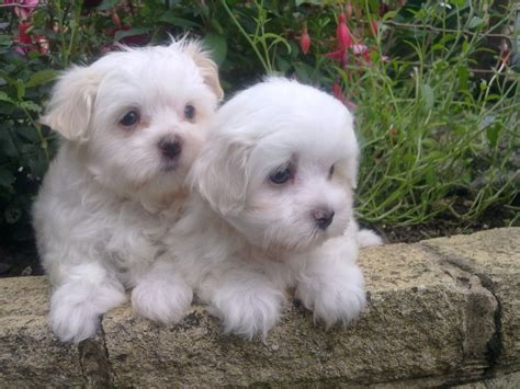 how much are maltese puppies maltese puppies needing much loving home stoke on trent staffordshire pets4homes
